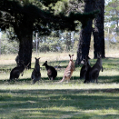 Kangaroos in the grounds surrounding Government House contemplate the state visit. Photo: Lise Åserud / NTB scanpix